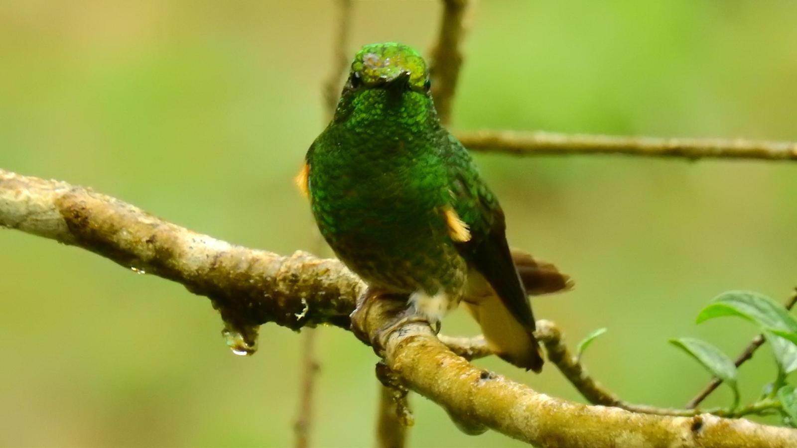 Buff-tailed Coronet Photo by Julio Delgado