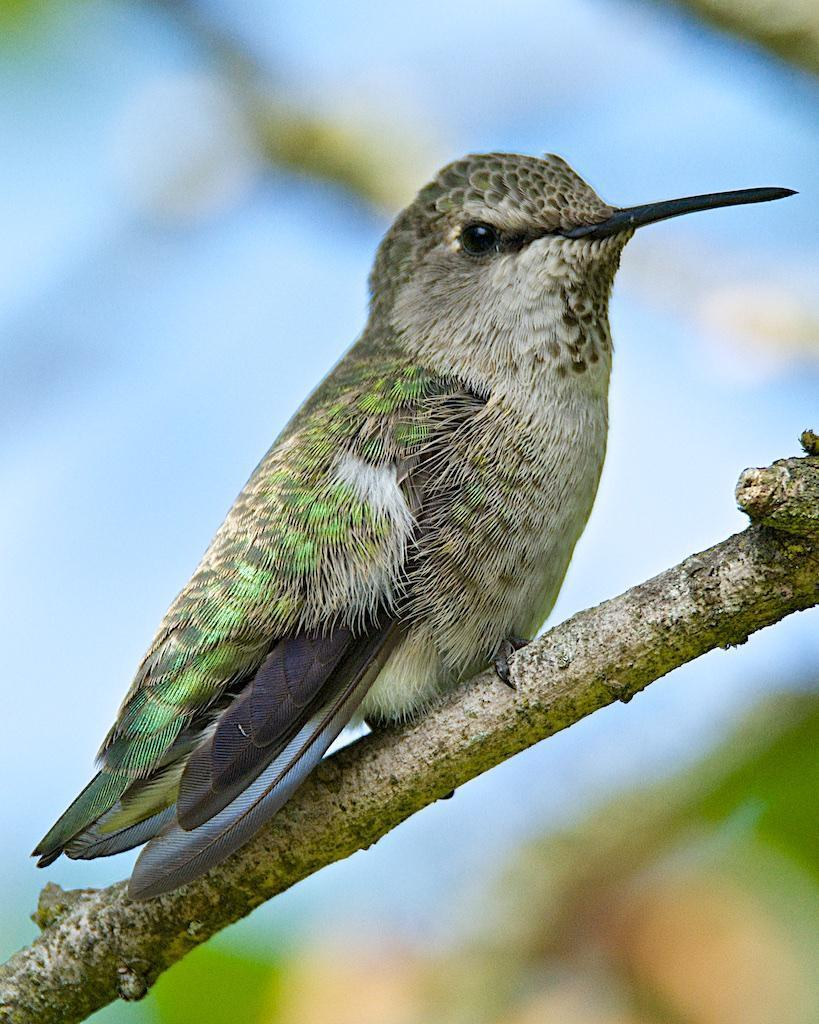 Anna's Hummingbird Photo by Brian Avent