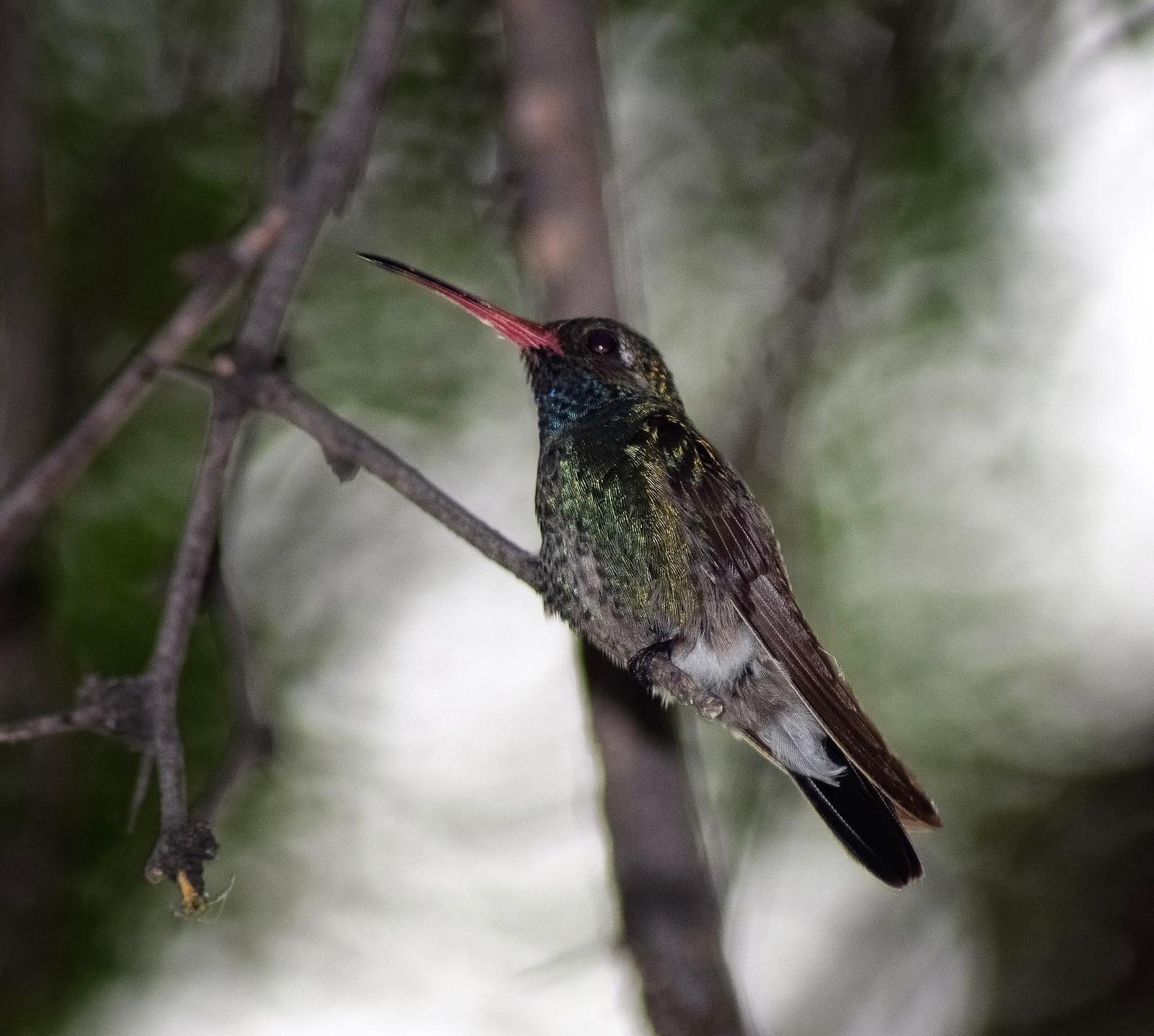 Broad-billed Hummingbird Photo by Laura A. Martínez Cantú