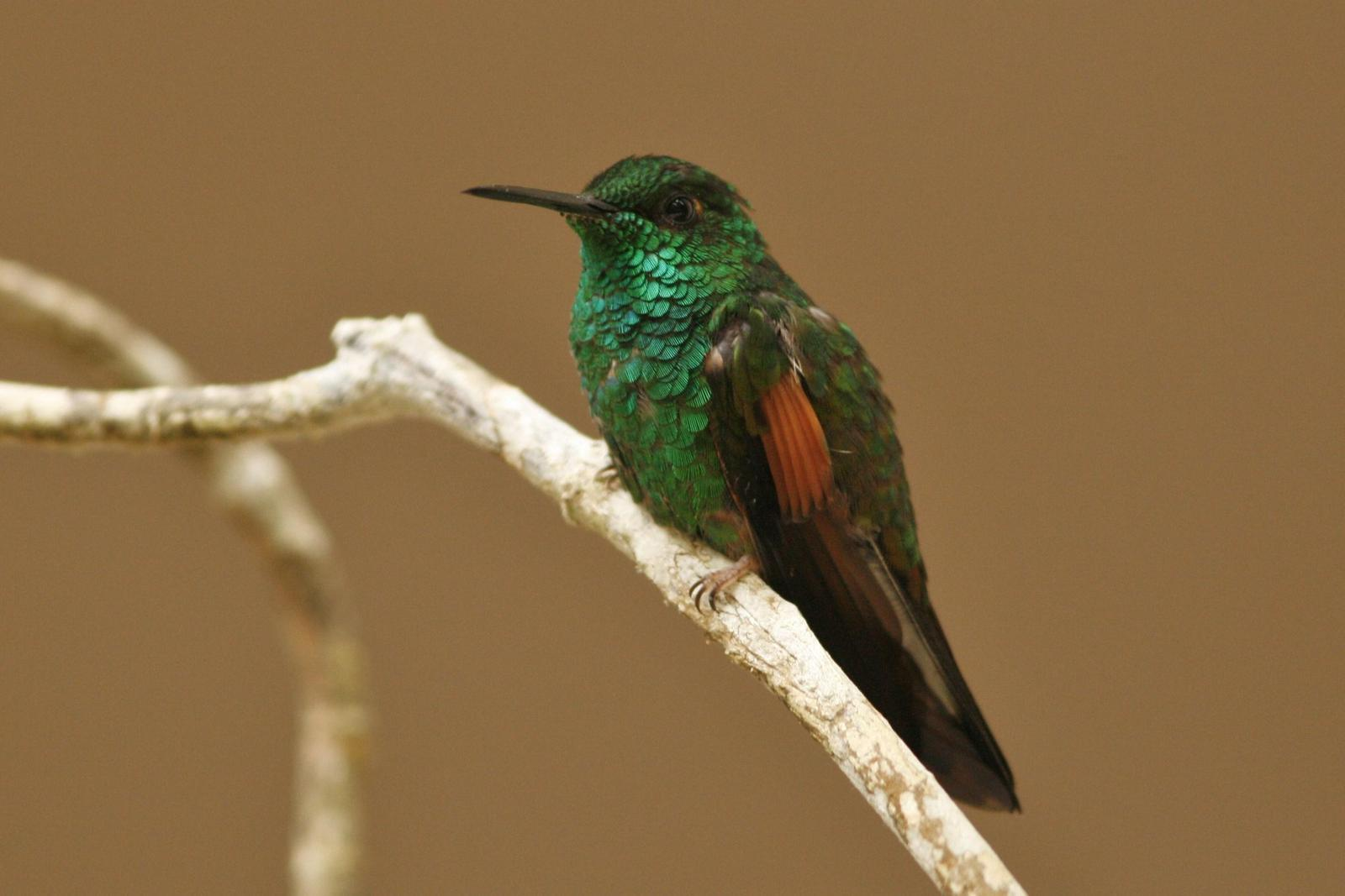 Stripe-tailed Hummingbird Photo by Oscar Johnson