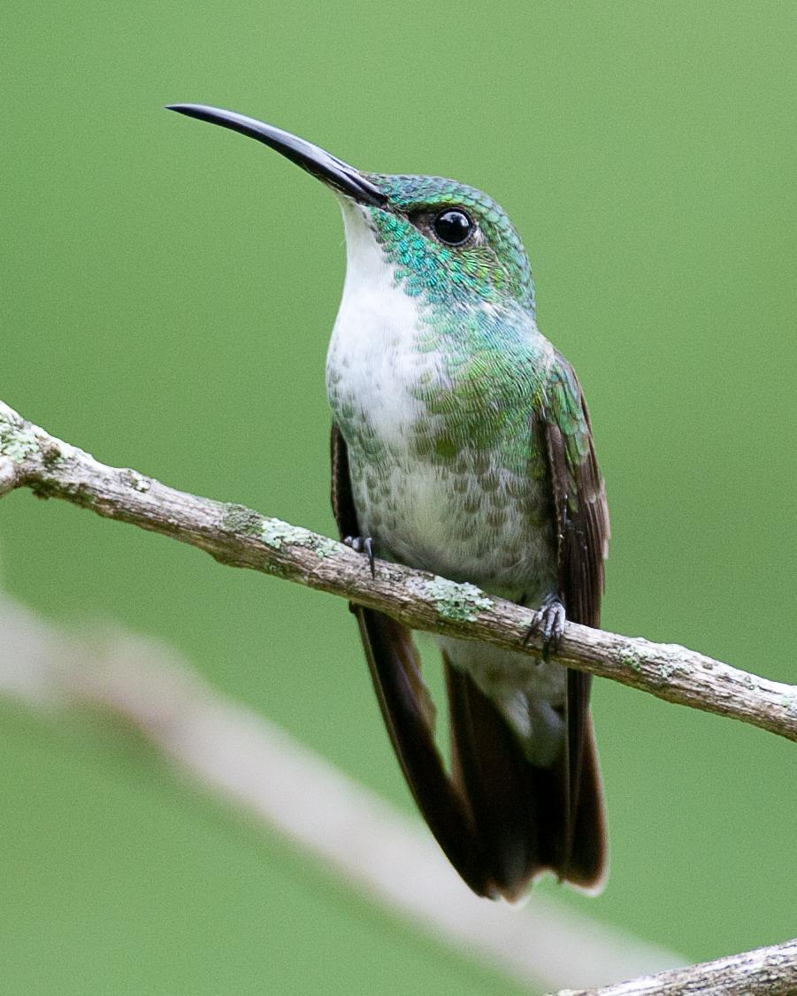 White-chested Emerald Photo by Robert Lewis