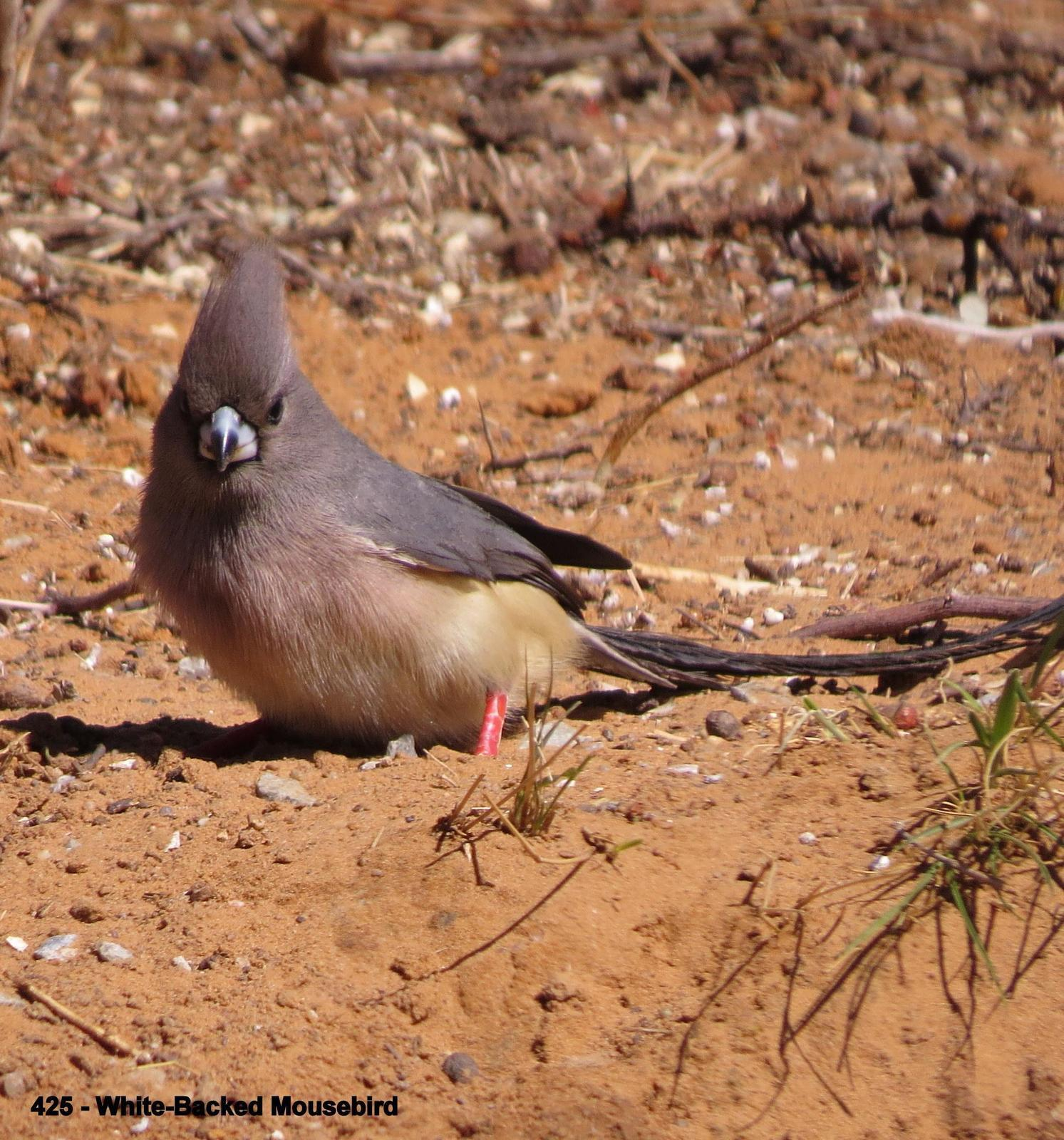 White-backed Mousebird Photo by Richard  Lowe