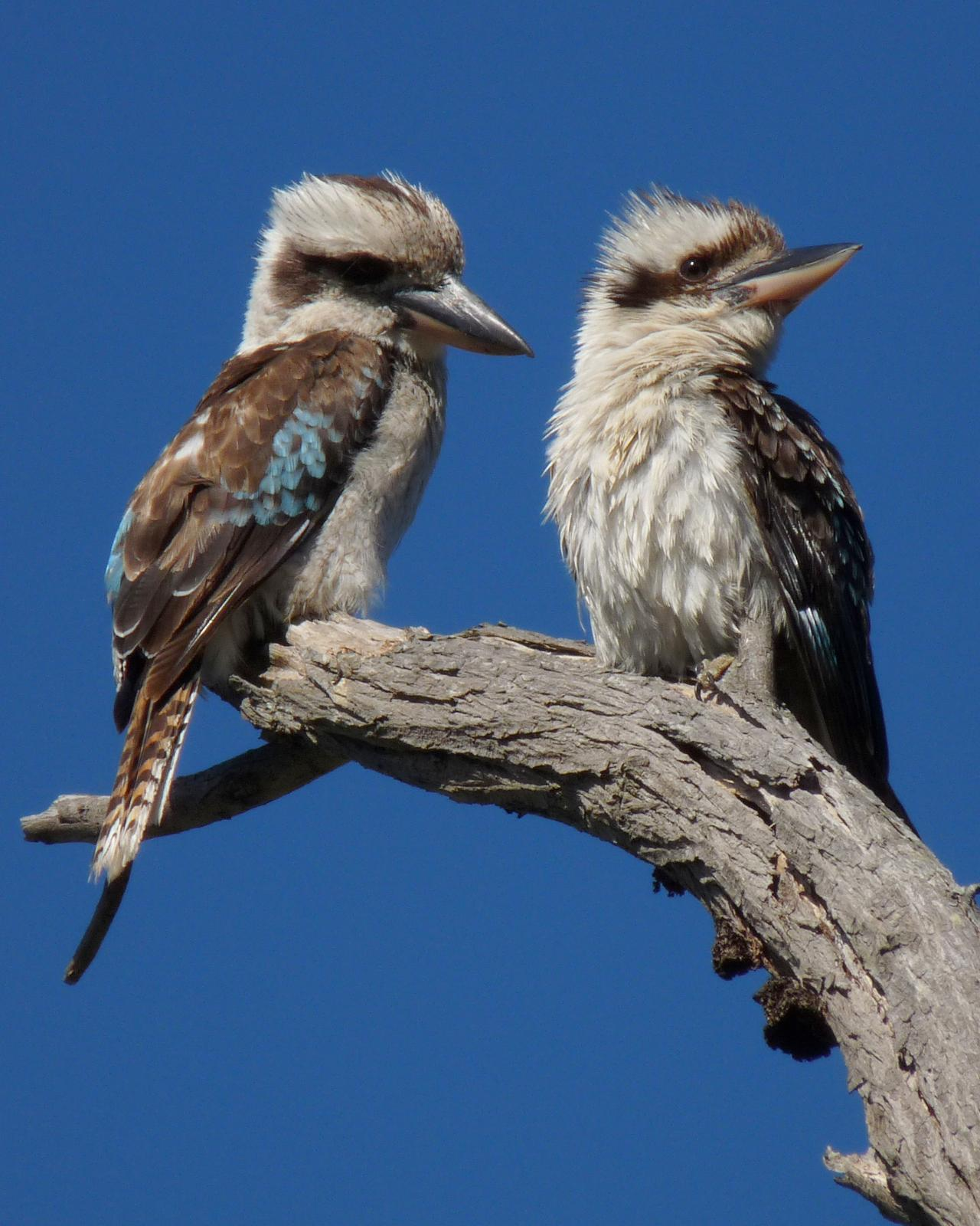 Laughing Kookaburra Photo by Peter Lowe