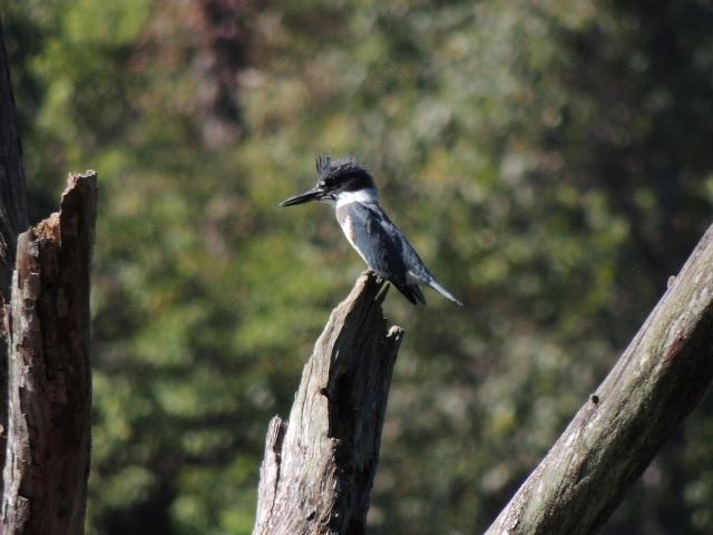 Belted Kingfisher Photo by Tony Heindel