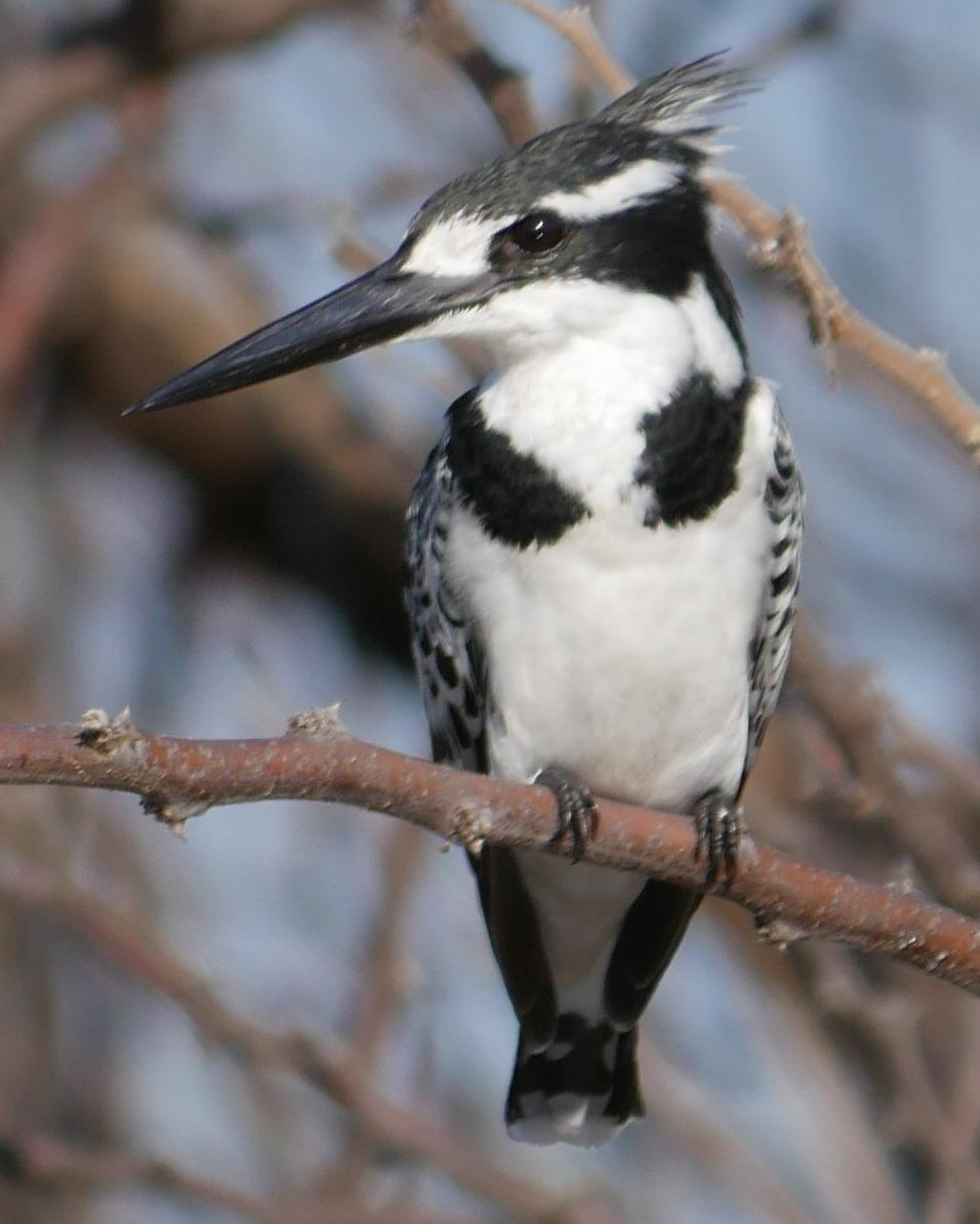 Pied Kingfisher Photo by Peter Lowe