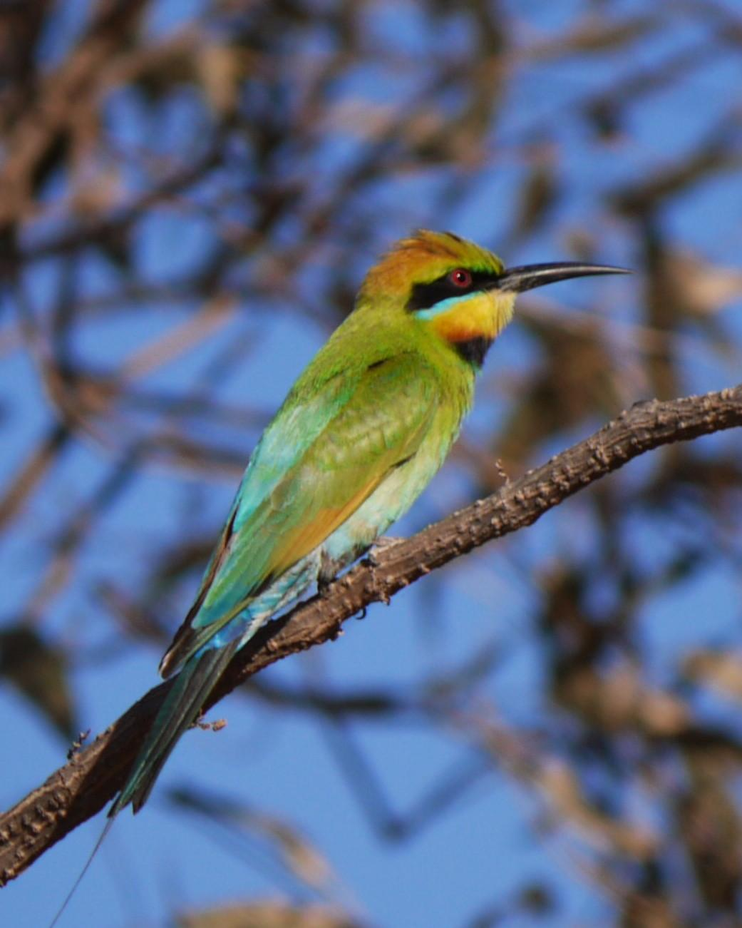 Rainbow Bee-eater Photo by Peter Lowe