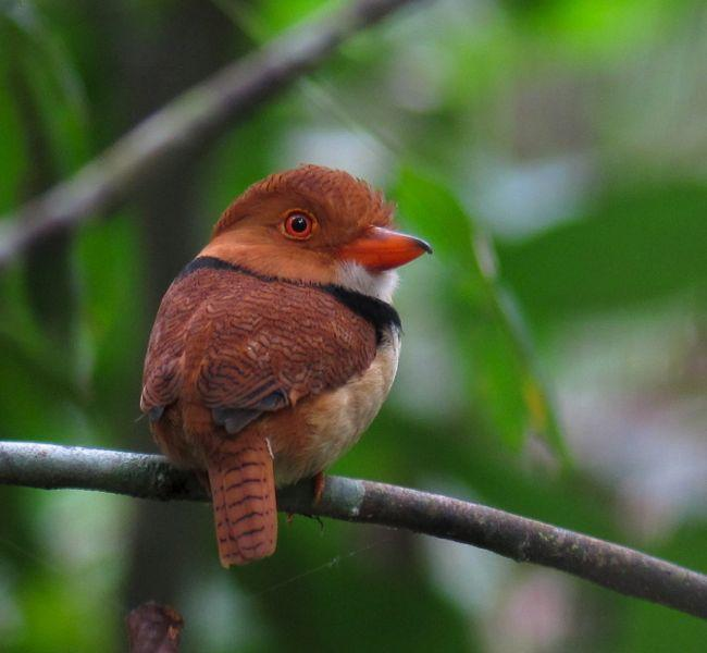 Collared Puffbird Photo by Andre  Moncrieff