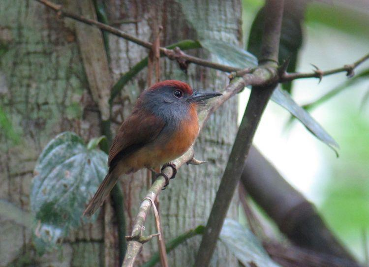 Rufous-capped Nunlet Photo by Andre  Moncrieff