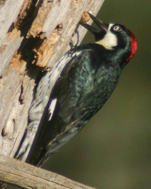 Gallery of Common Woodpecker Species  The Spruce