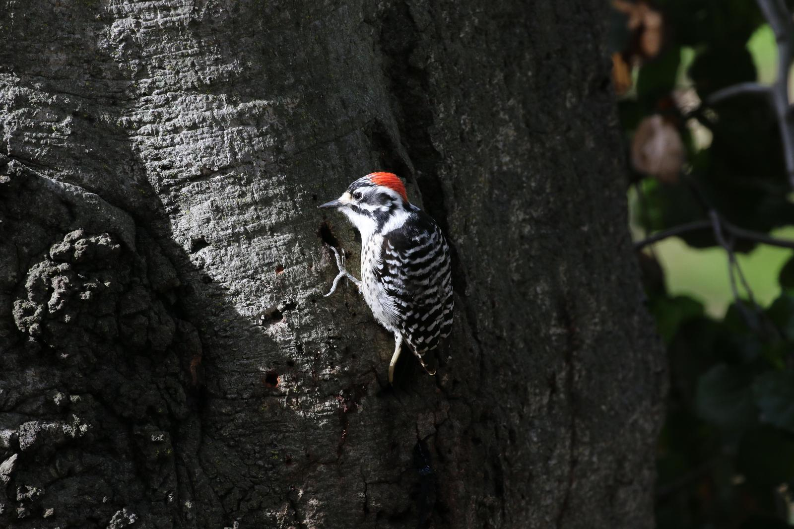 Nuttall's Woodpecker Photo by Richard Jeffers