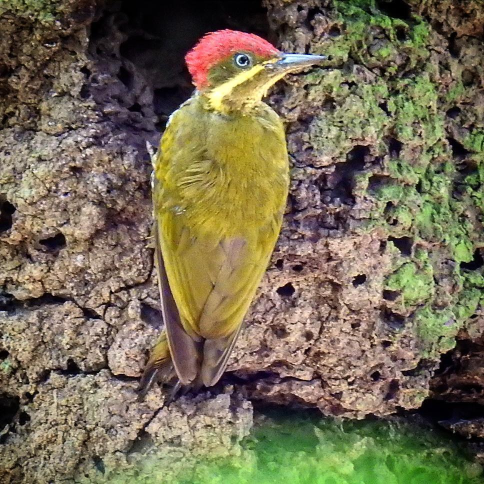 Golden-green Woodpecker Photo by Julio Delgado