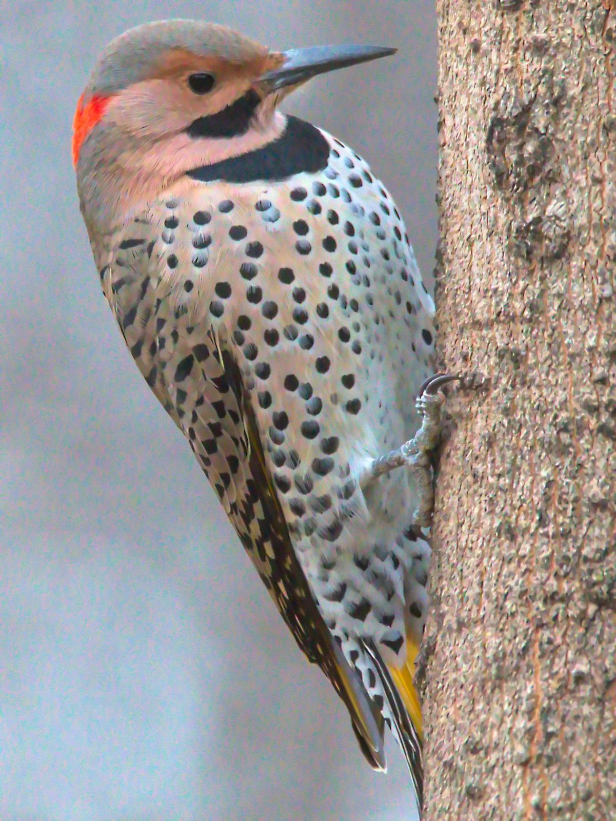 Northern Flicker (Yellow-shafted) Photo by Dan Tallman