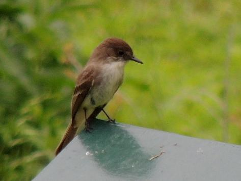 Eastern Phoebe Photo by Tony Heindel