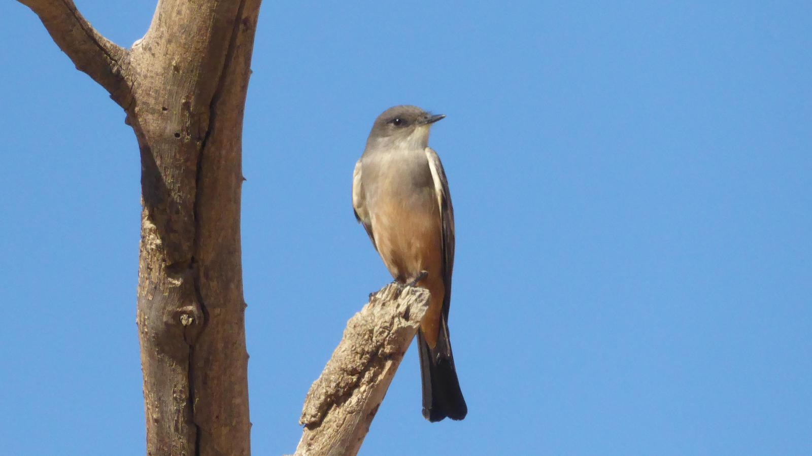 Say's Phoebe Photo by Daliel Leite