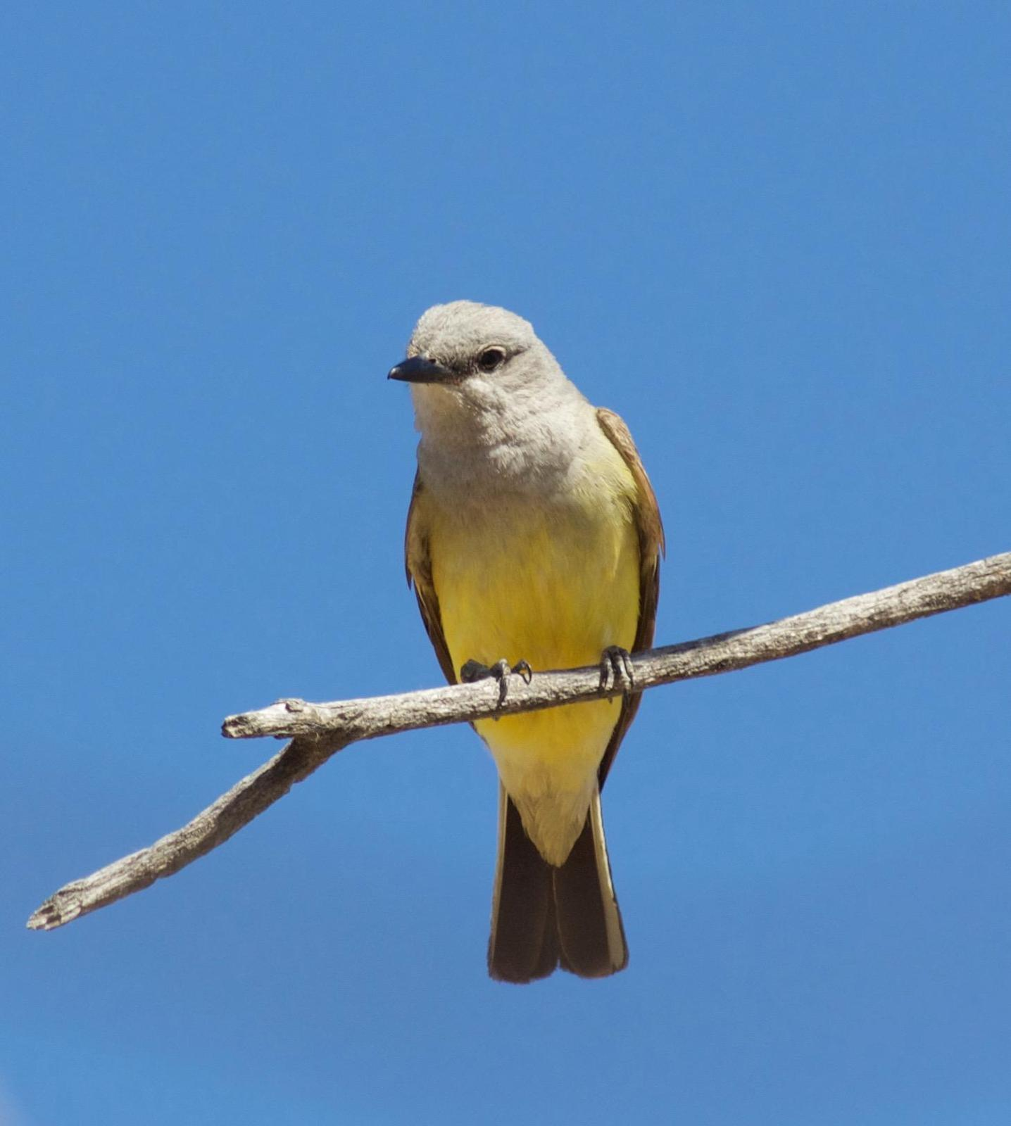 Western Kingbird Photo by Kathryn Keith