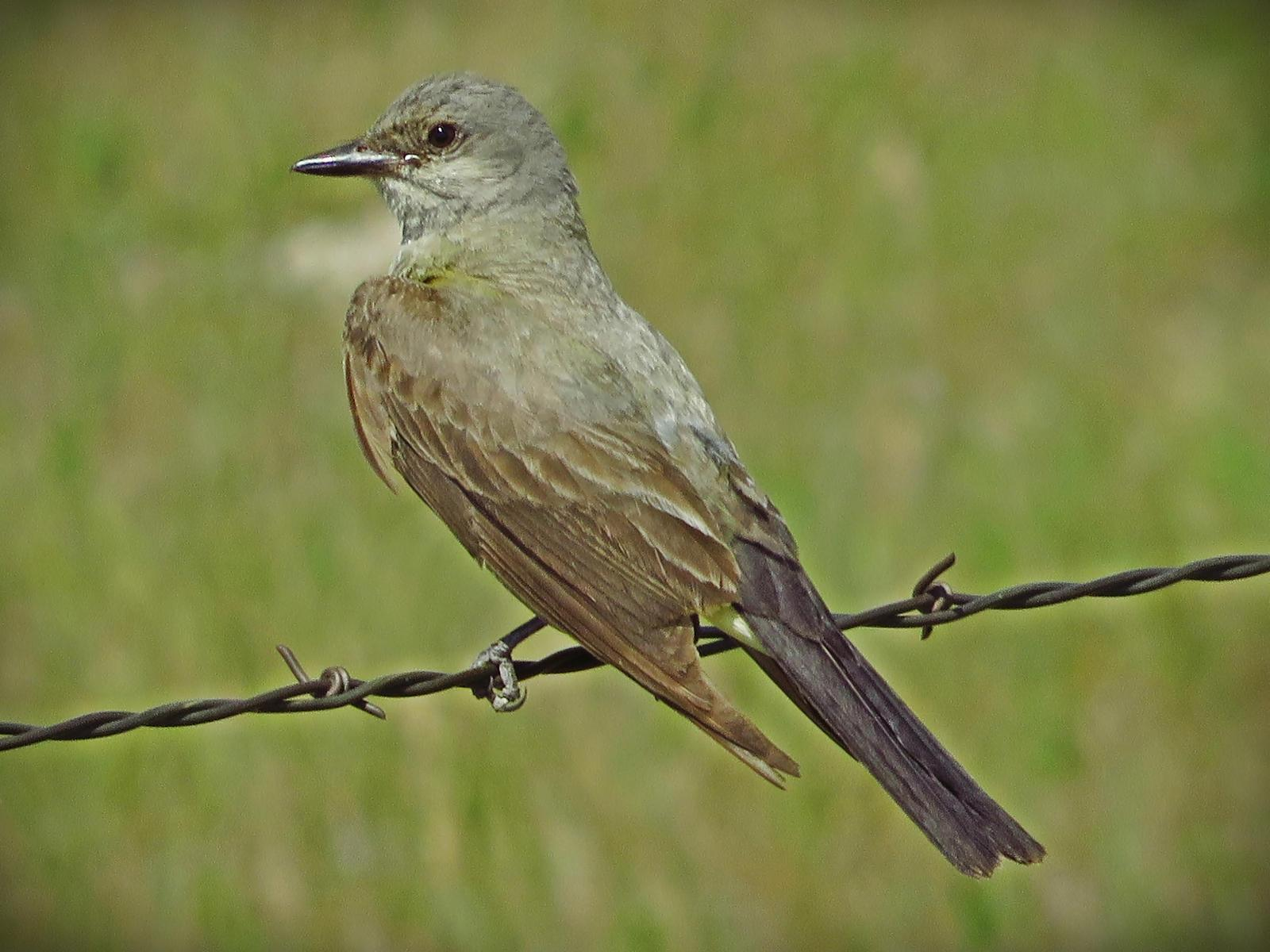 Western Kingbird Photo by Bob Neugebauer