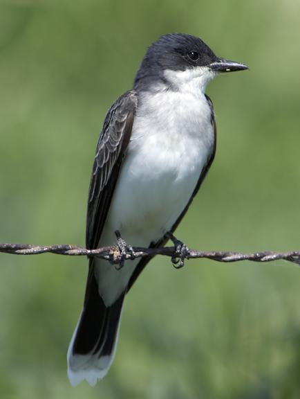 Eastern Kingbird Photo by Dan Tallman