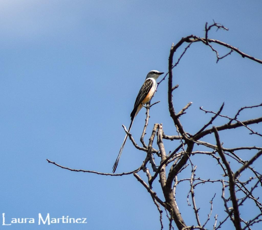 Scissor-tailed Flycatcher Photo by Laura A. Martínez Cantú
