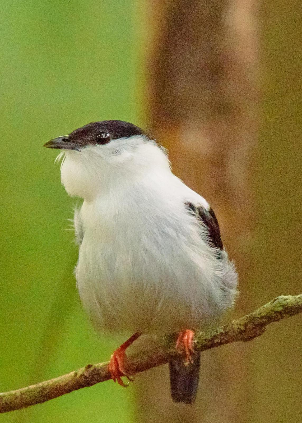 White-bearded Manakin Photo by Keshava Mysore