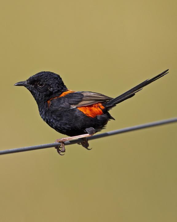 Red-backed Fairywren Photo by Mat Gilfedder