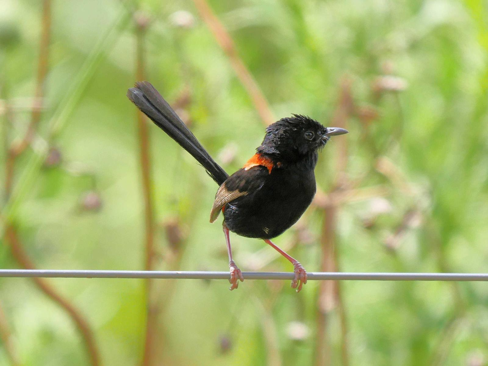 Red-backed Fairywren Photo by Peter Lowe