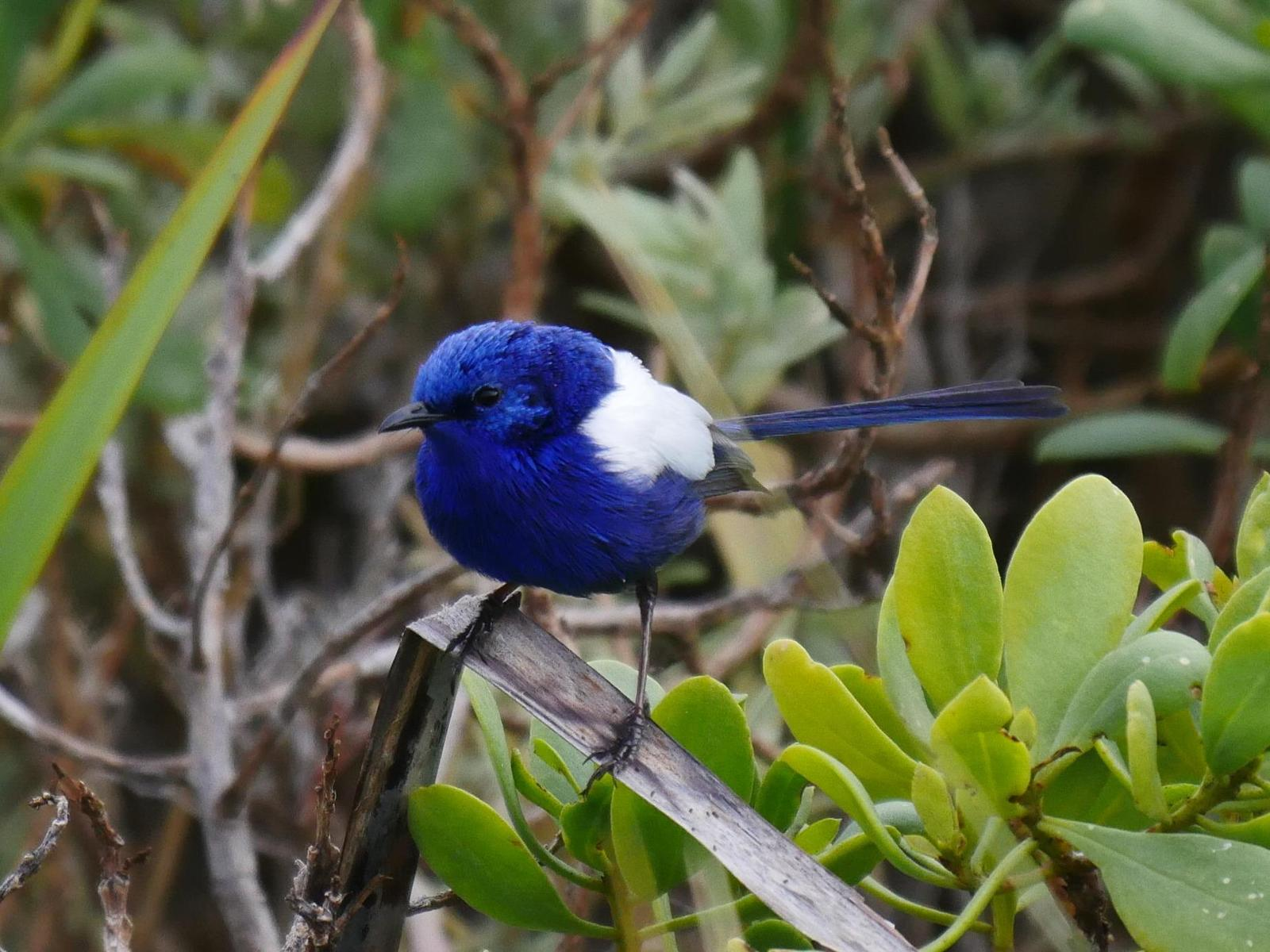 White-winged Fairywren Photo by Peter Lowe
