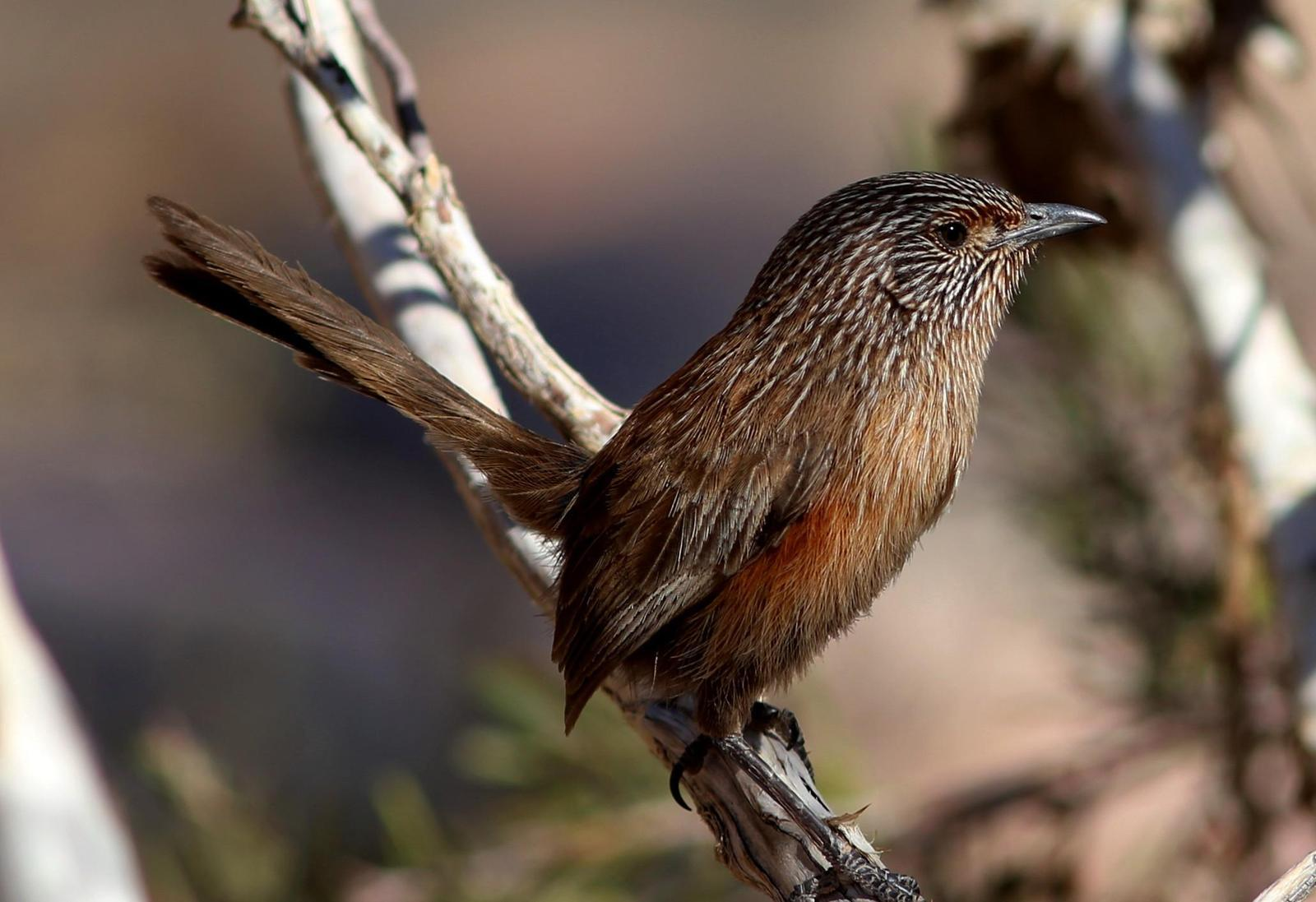 Dusky Grasswren Photo by Rohan van Twest