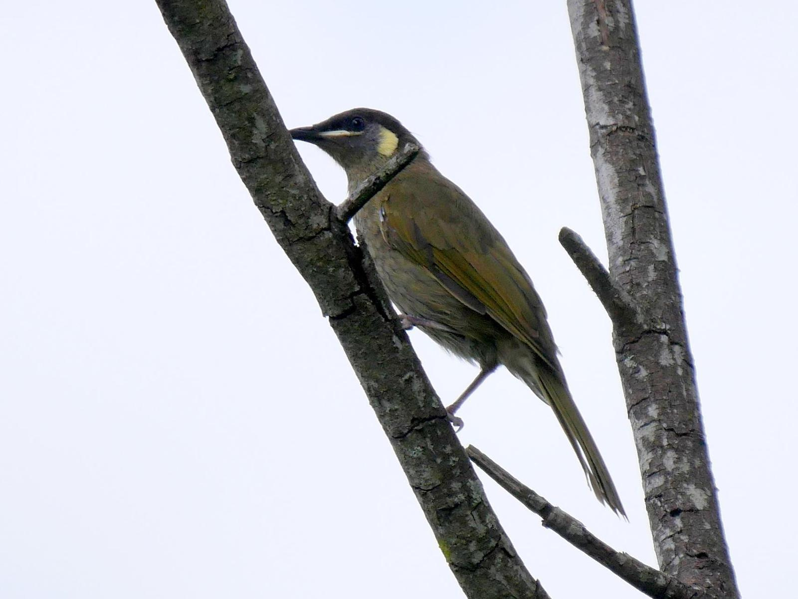 Lewin's Honeyeater Photo by Peter Lowe