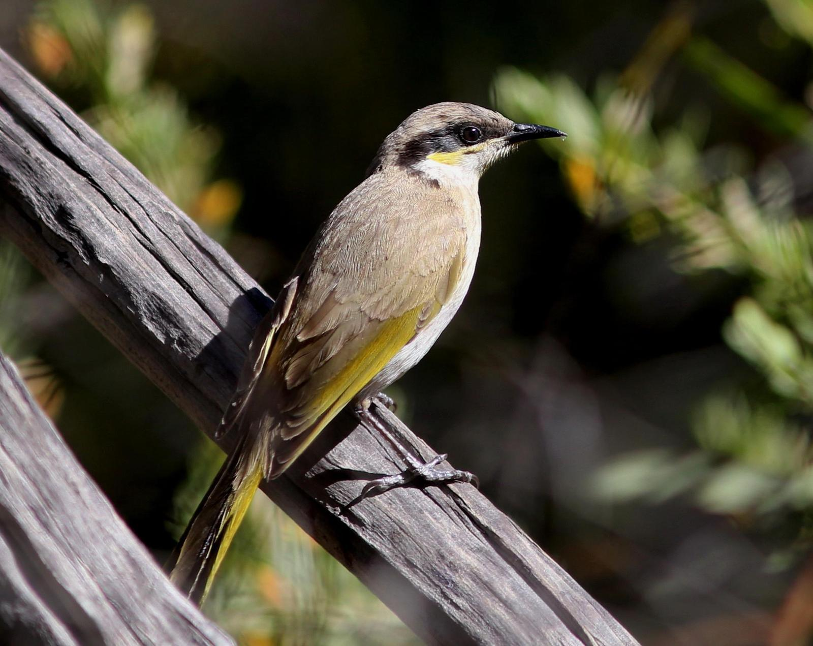 Singing Honeyeater Photo by Rohan van Twest