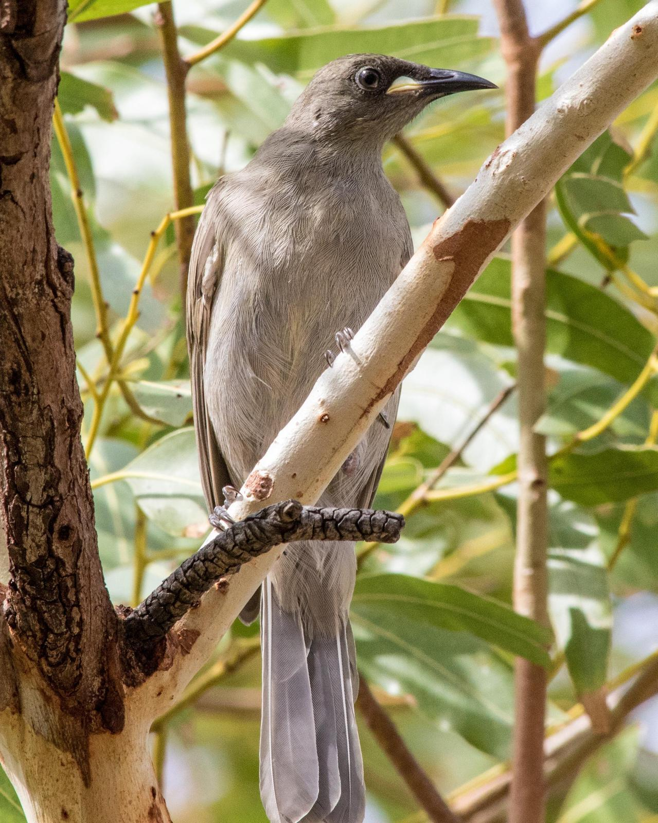White-gaped Honeyeater Photo by Mark Baldwin