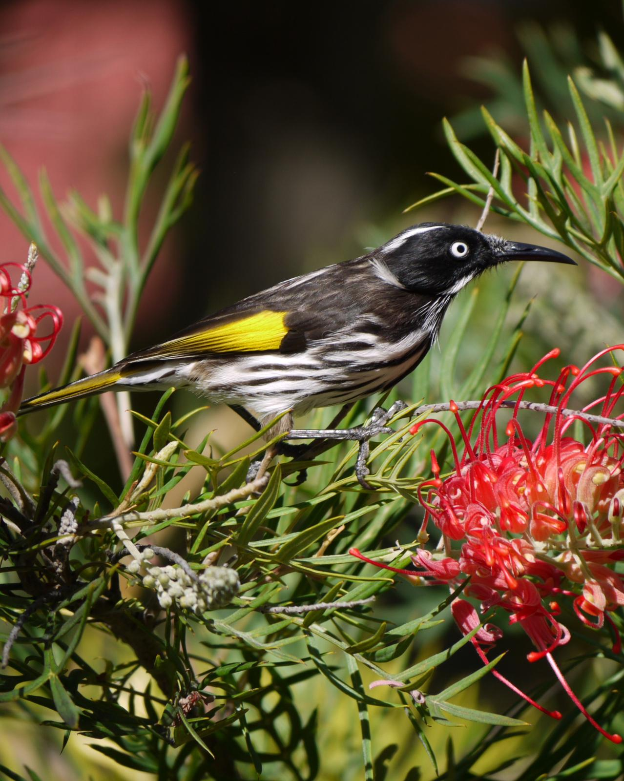 New Holland Honeyeater Photo by Peter Lowe