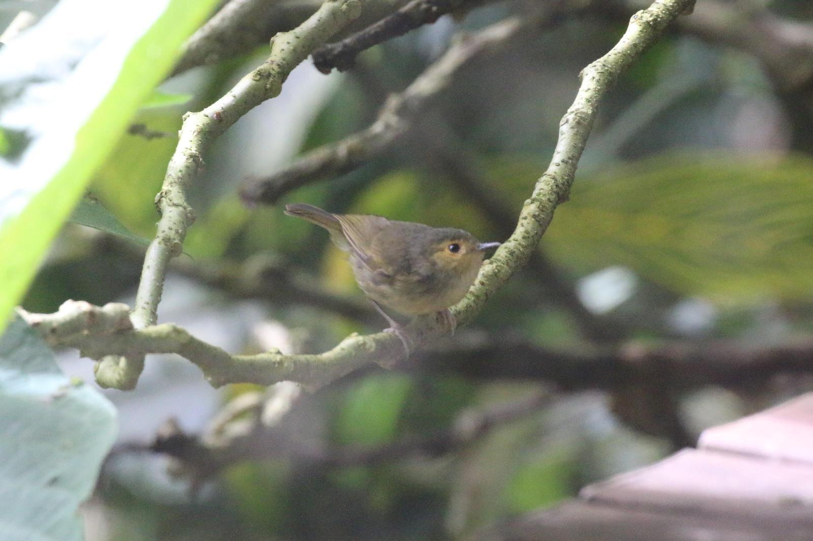 Buff-faced Scrubwren Photo by Richard Jeffers