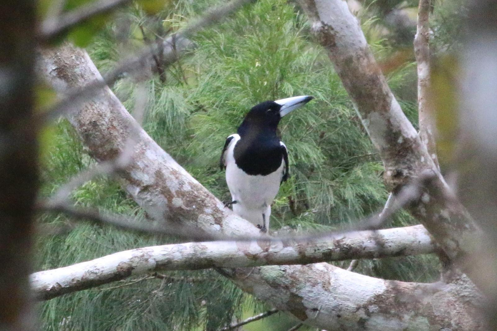 Hooded Butcherbird Photo by Richard Jeffers