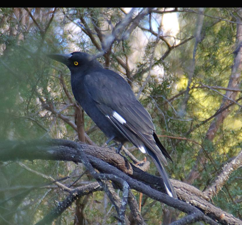 Pied Currawong Photo by Richard Lund