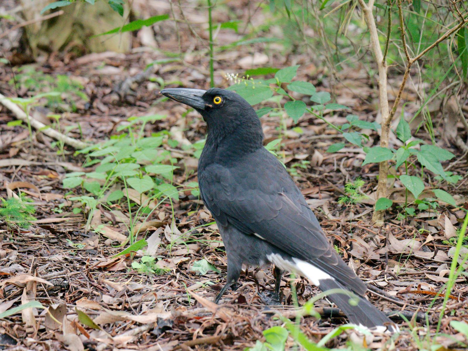 Pied Currawong Photo by Peter Lowe