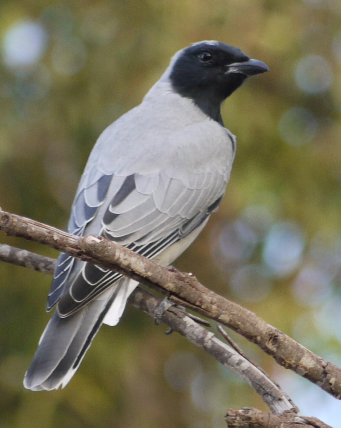 Black-faced Cuckooshrike Photo by Peter Lowe