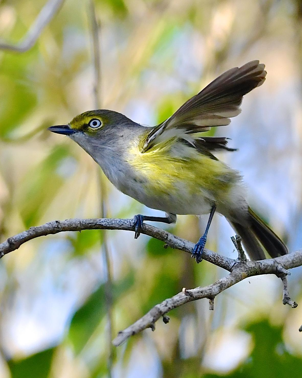 White-eyed Vireo (White-eyed) Photo by Gerald Friesen
