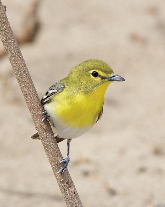 Yellow-throated Vireo Photo by Denis Rivard
