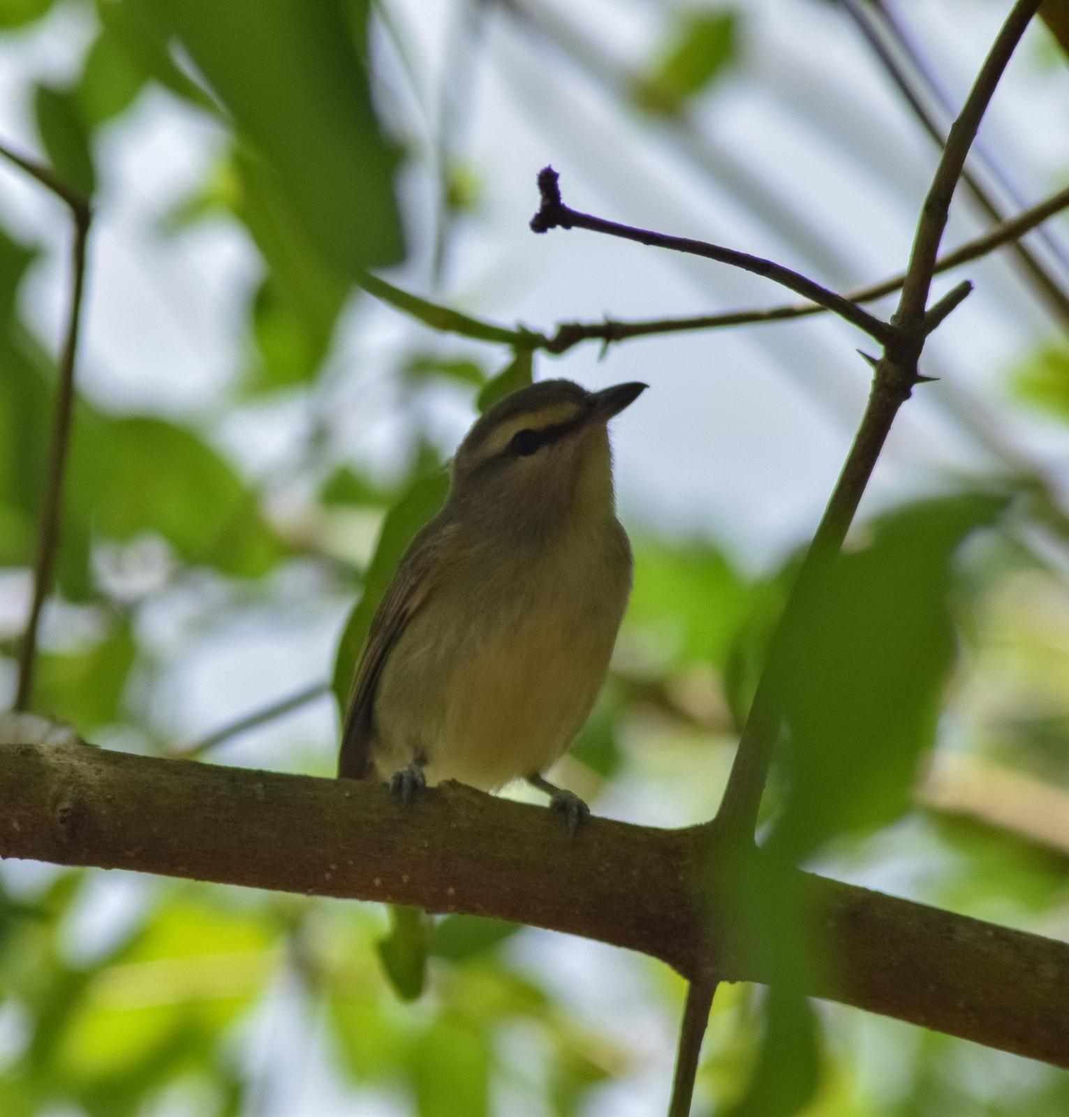 Yucatan Vireo Photo by Laura A. Martínez Cantú