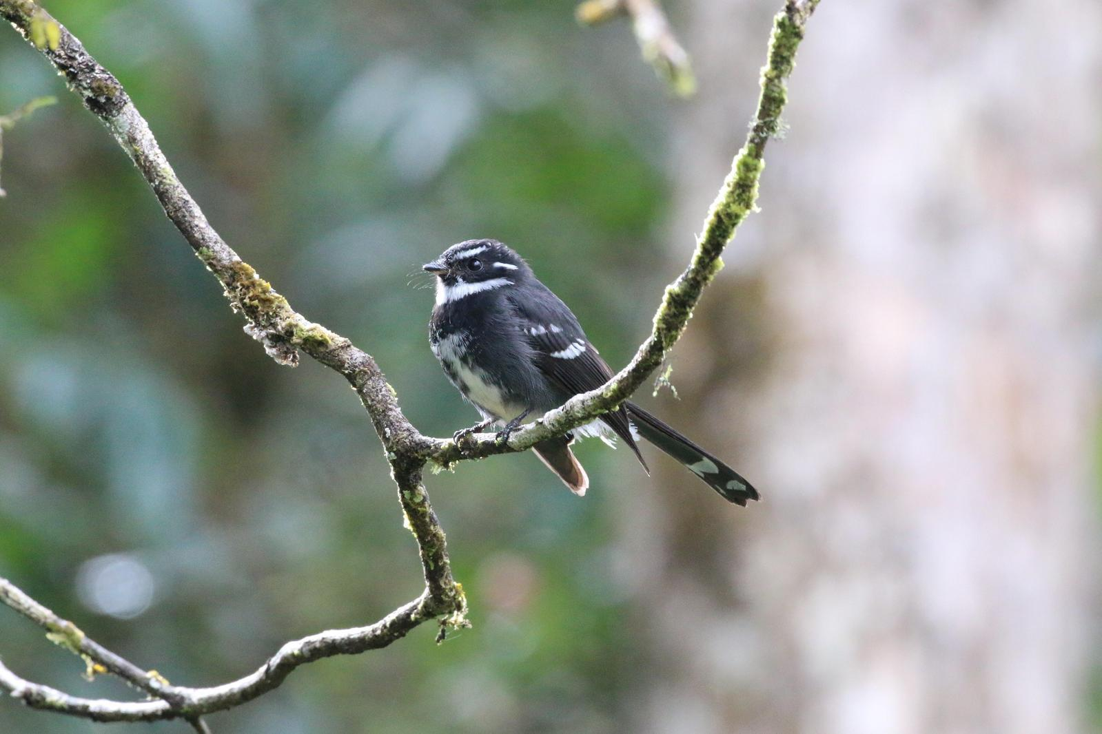 Friendly Fantail Photo by Richard Jeffers