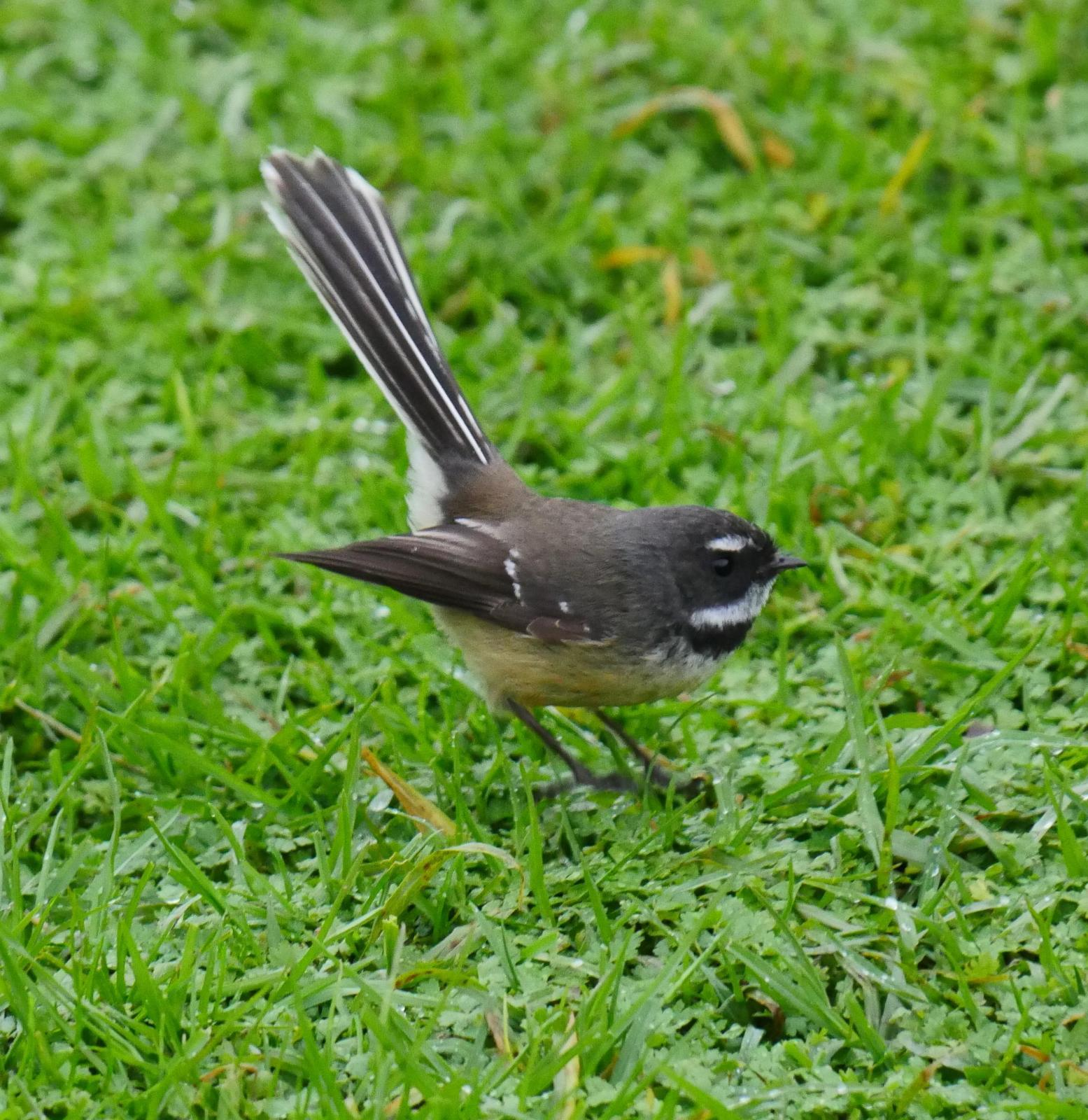 New Zealand Fantail Photo by Peter Lowe