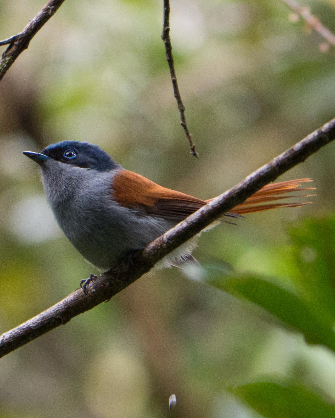 Mascarene Paradise-Flycatcher Photo by Randy Siebert