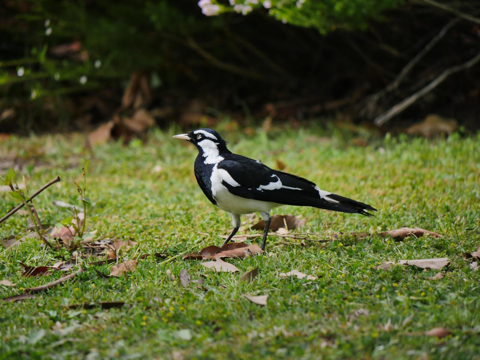 Magpie-lark Photo by Peter Lowe