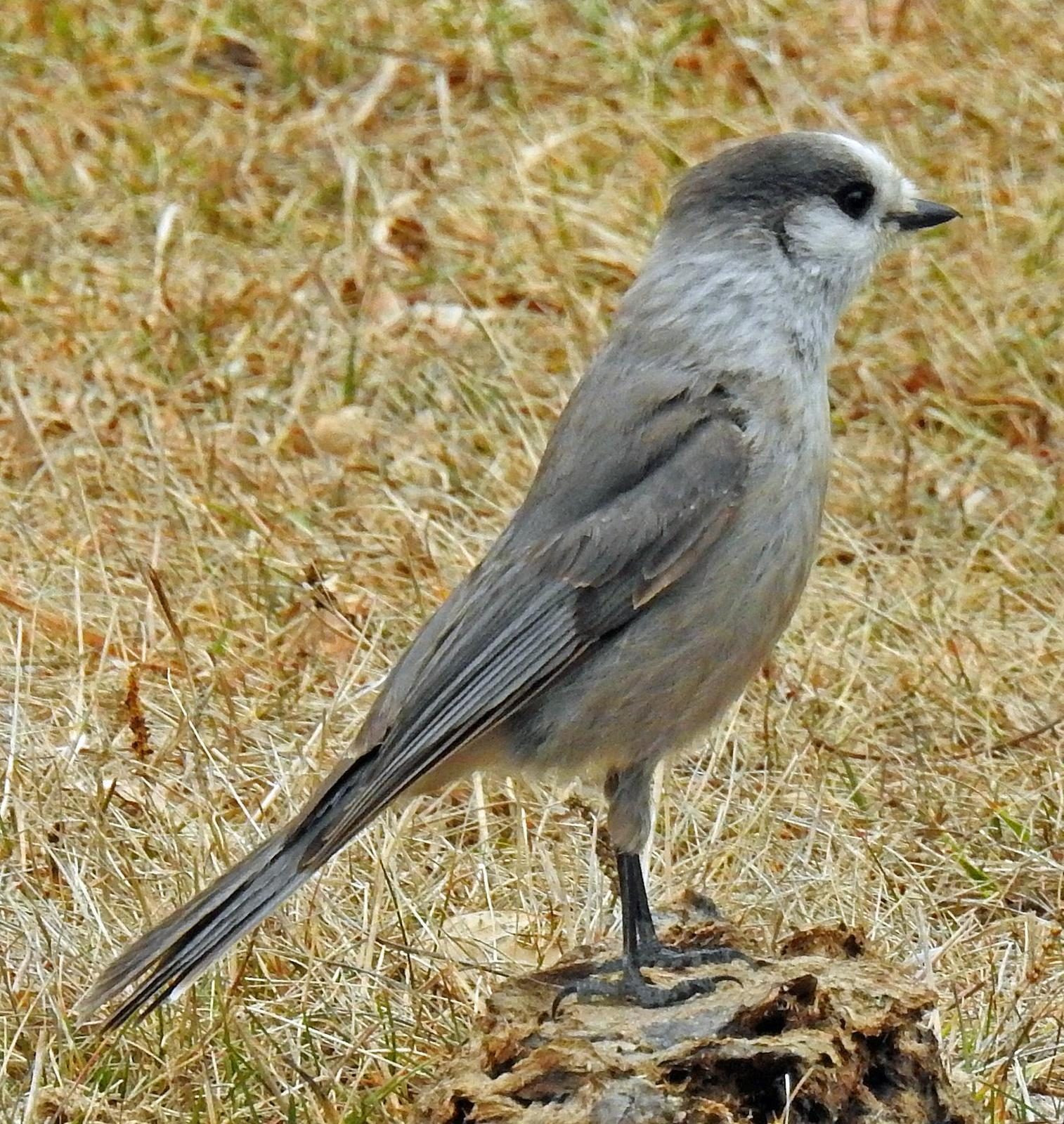 Gray Jay Photo by Tom Gannon