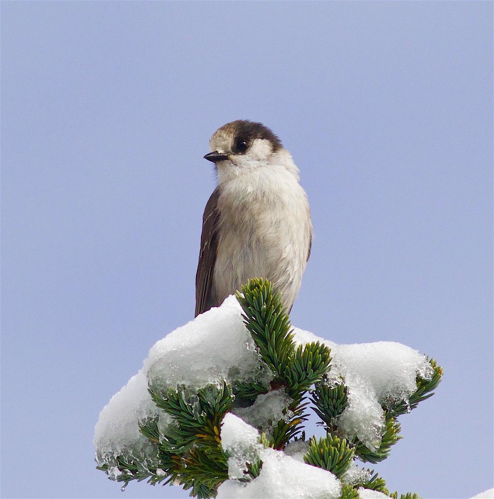 Gray Jay (Pacific) Photo by Kathryn Keith