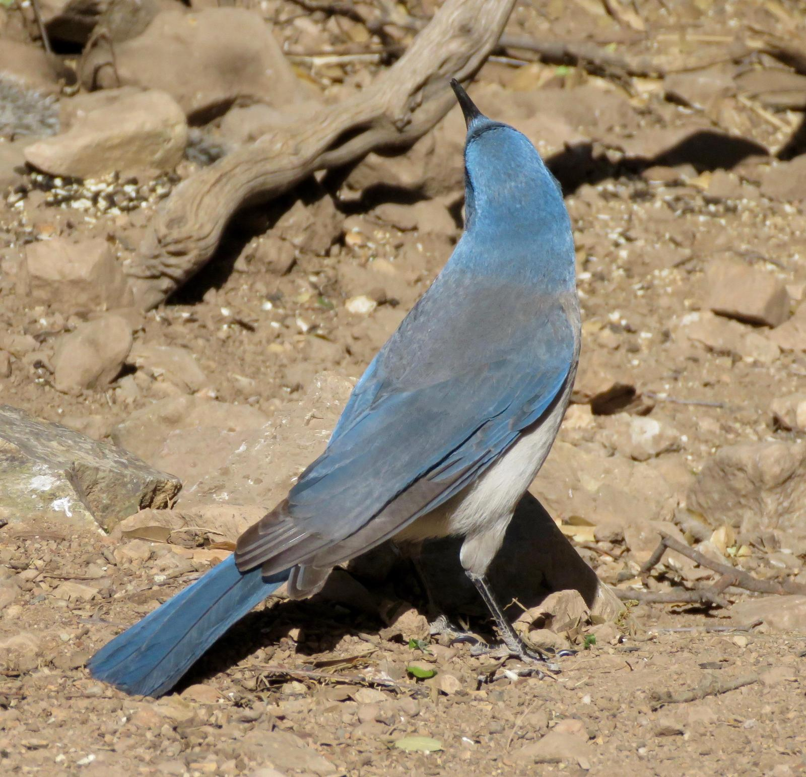 Mexican Jay (Arizona) Photo by Don Glasco