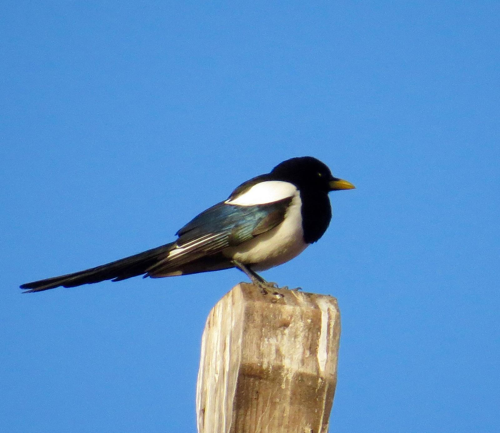 Yellow-billed Magpie Photo by Don Glasco