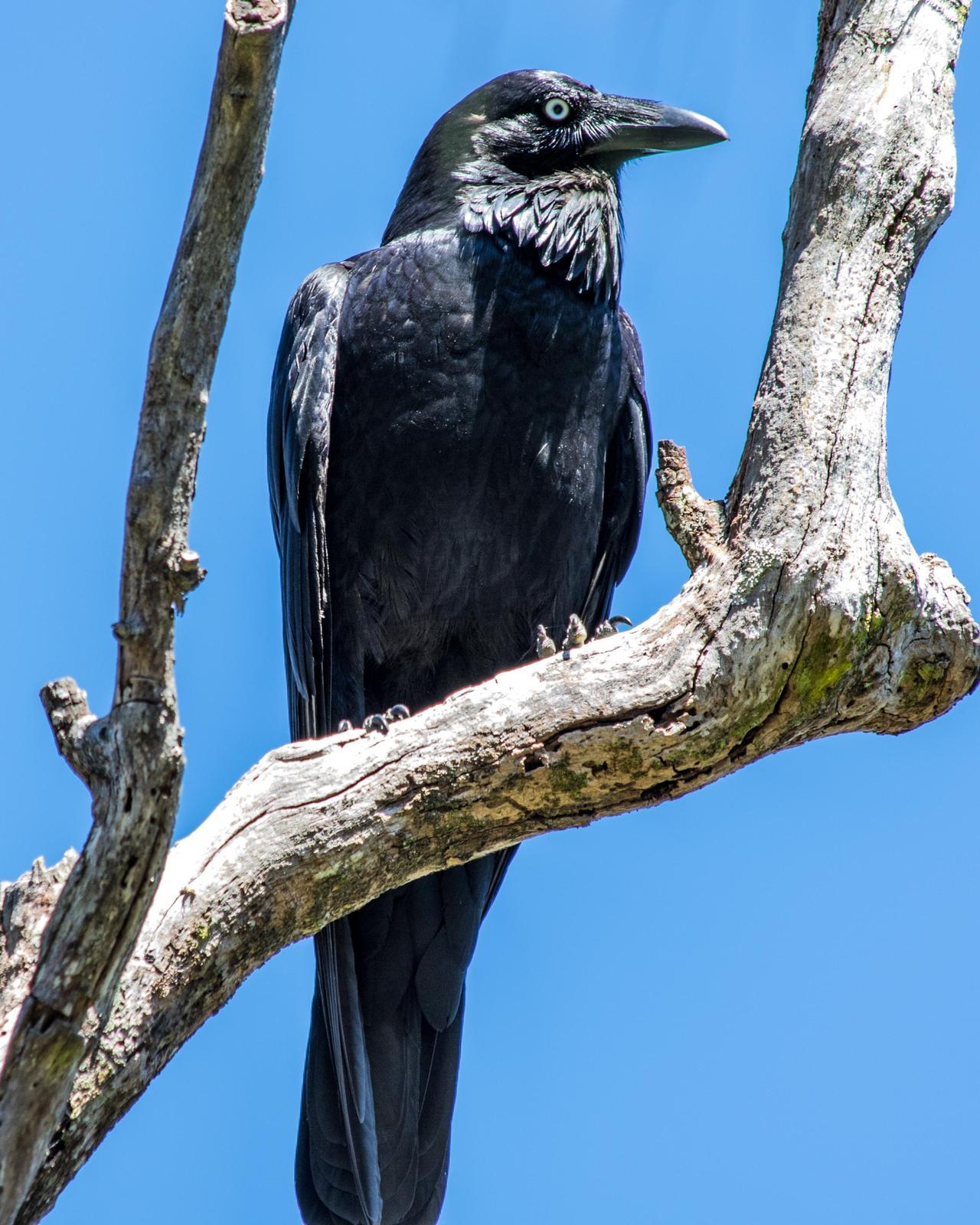 Australian Raven Photo by Mark Baldwin