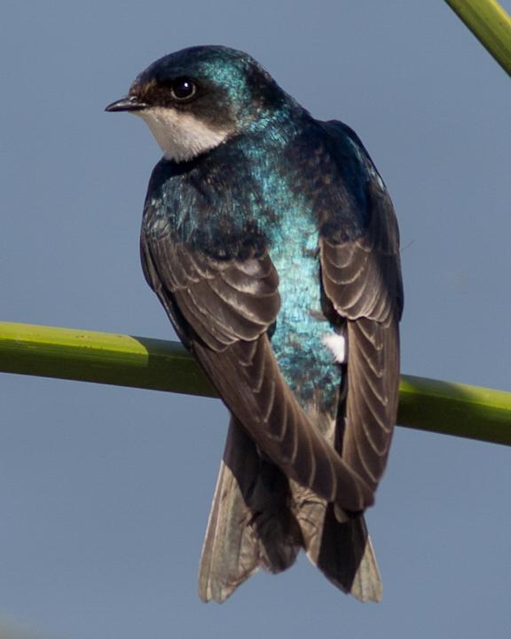 Tree Swallow Photo by Anthony Gliozzo