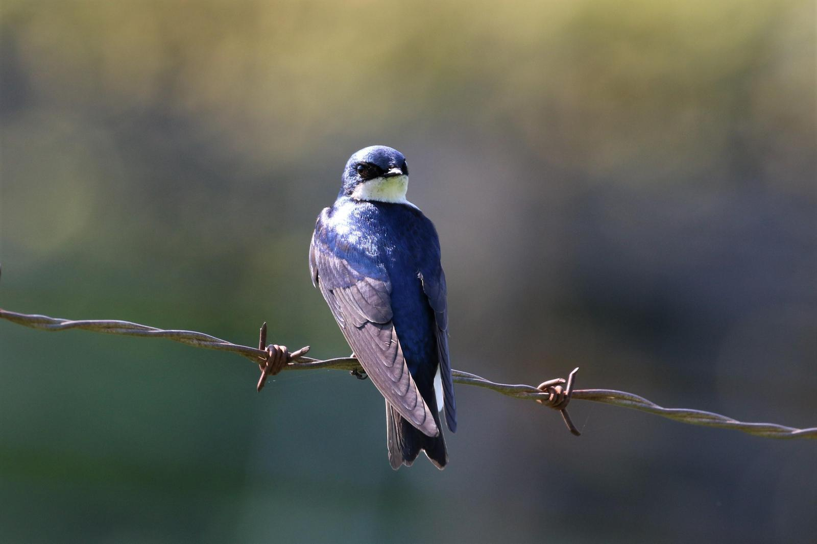 Tree Swallow Photo by Richard Jeffers